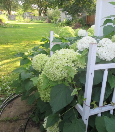 View into the back garden from the side gate. Hydrangeas held up by a repurposed crib I found on the sidewalk.